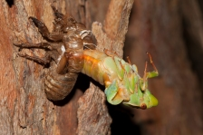 Green_grocer_cicada_molting
