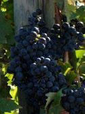 Tintilia_wine_grape